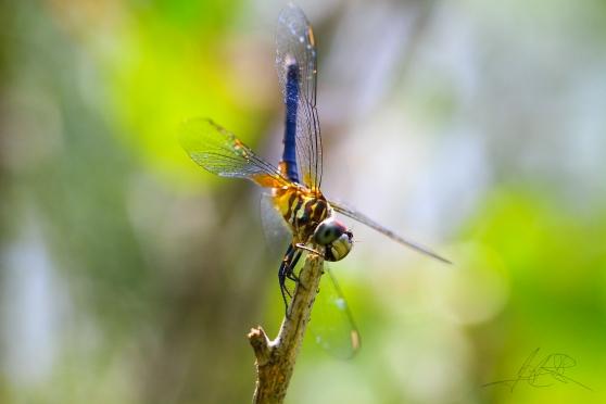 Dragonfly gymnast