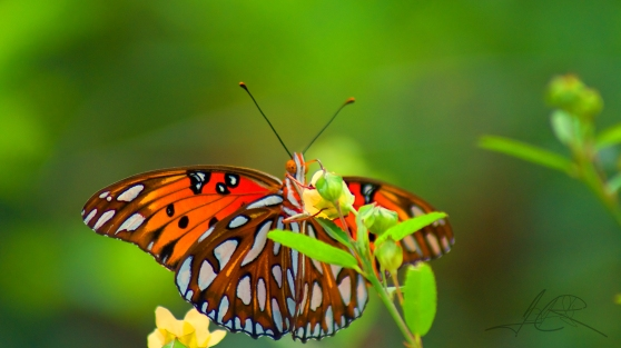 Gulf Fritillary: Game of peek a boo